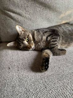 Zoey - Adopting Pending!, an adopted Domestic Short Hair & Tabby Mix in Kentwood, MI