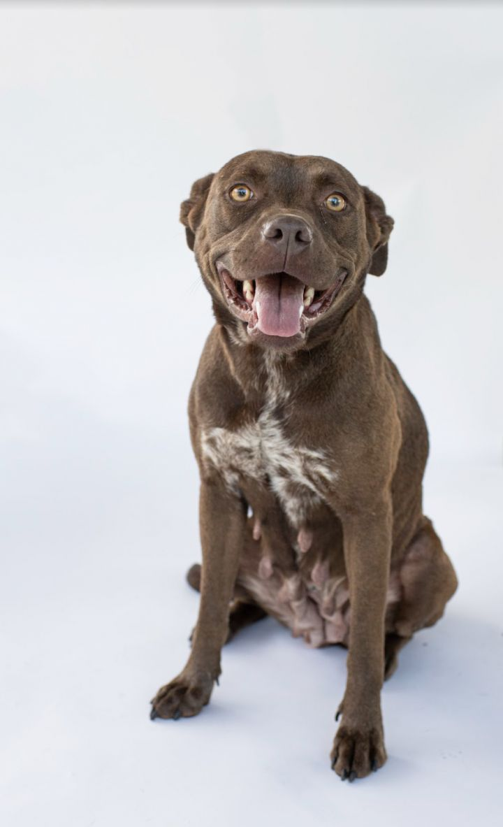 Tippy, an adoptable Pit Bull Terrier Mix in Columbus, NC