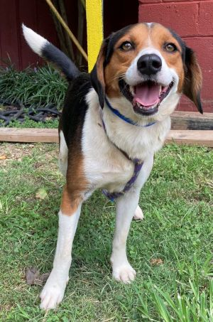 Meet Swagger a 2 year old 26 pound wonderful Beagle mix This endearing pup is soft sweet lovin