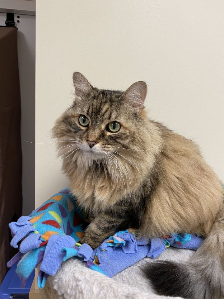 Calypso, an adoptable Domestic Medium Hair in Naperville, IL