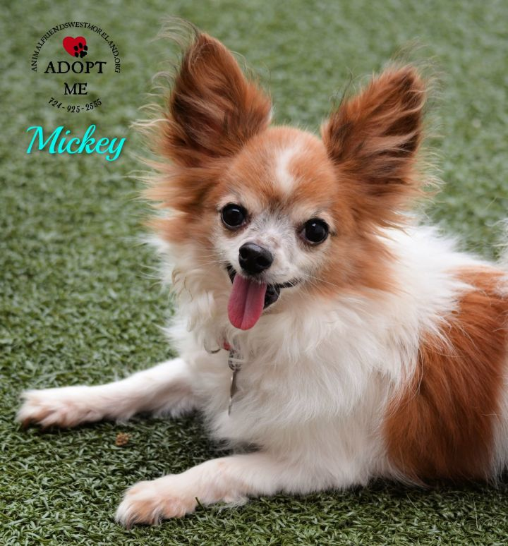 Mickey, an adoptable Papillon Mix in Youngwood, PA