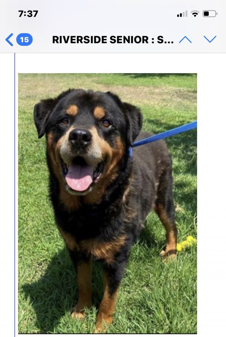 Brutus, an adoptable Rottweiler in Portland, OR