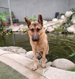This handsome German shepherd is in training after being rescued from the shelter He will be ready