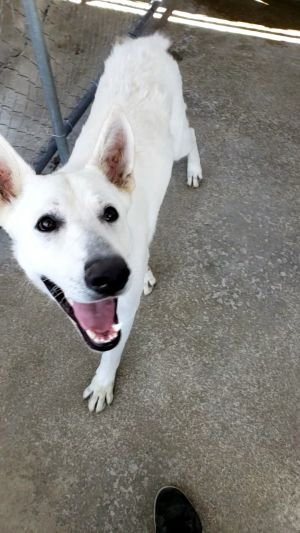 This 2 year old handsome friendly white German Shepherd was rescued from a local shelter He is in t