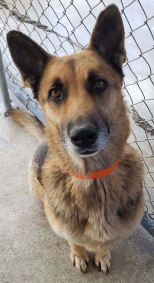 This 4 year old kind soul would like a home This German shepherd was rescued from thr shelter and i