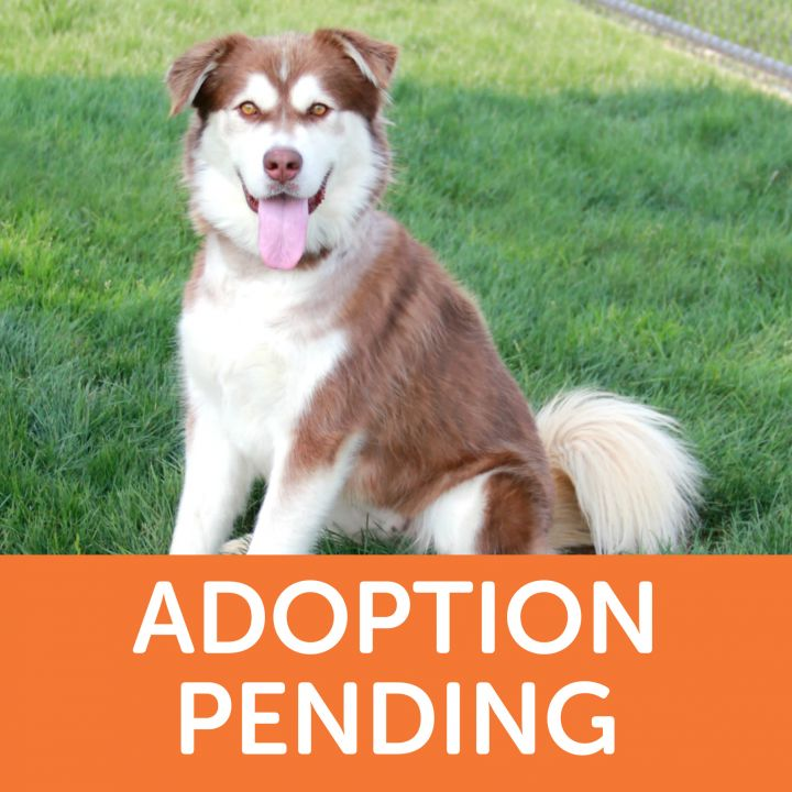 Meteora, an adopted Siberian Husky Mix in Clovis, CA