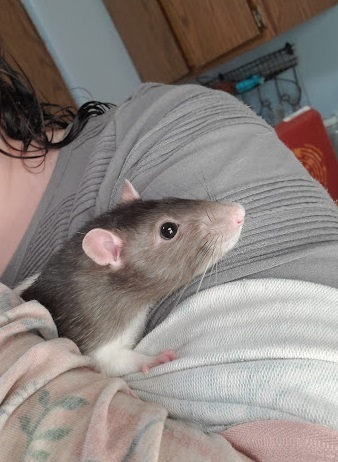 Midnight, an adopted Rat in Saint Paul, MN