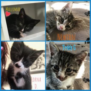 Newton  Lorna D  Teddy G  and Mallomar are sweet to match their names These kittens are so