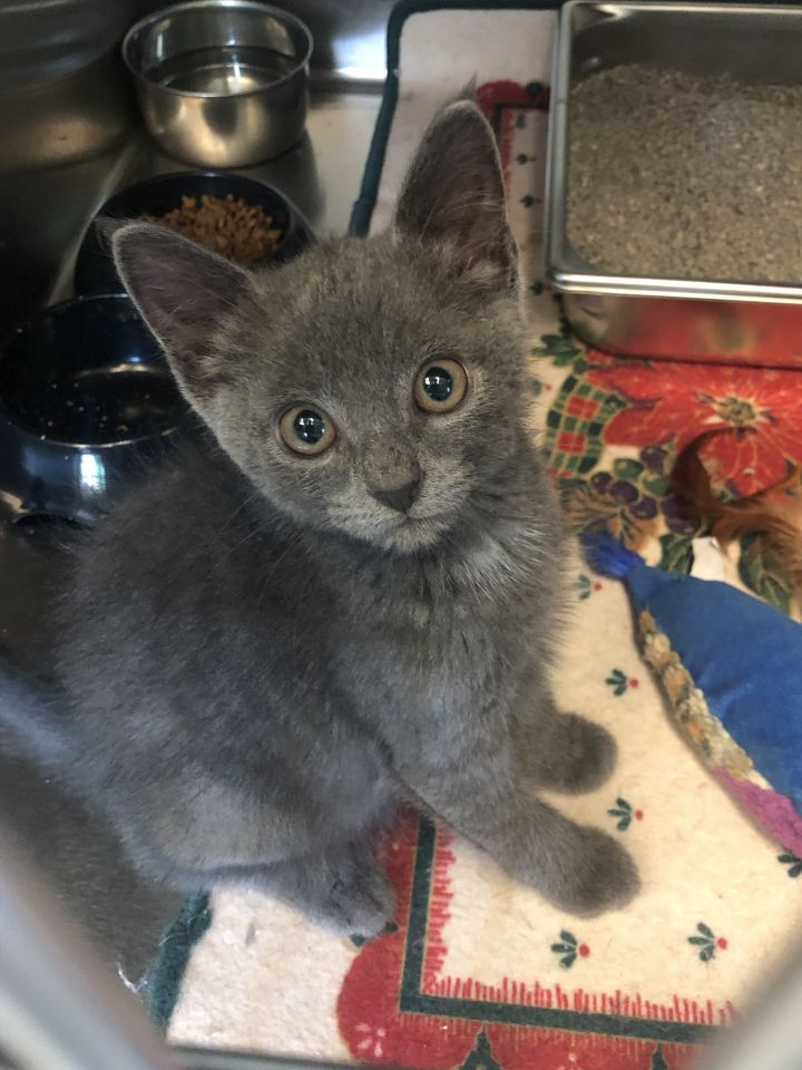Tanner, an adopted Domestic Medium Hair in Waynesburg, PA