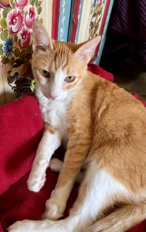 Pumpkin is an adorable and super sweet young male cat He just loves his brother Peaches and cant b