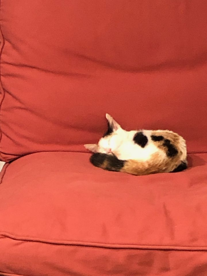 Aubrey, an adoptable Calico Mix in Hainesville, IL