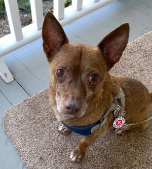 Name Tommy 8-10 yo chi about 15lbs Dumpedabandoned alone at night in a park Personality Sweet ge