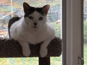 Meet Silas This sweet boy is thought to be around 12 years old He is declawed