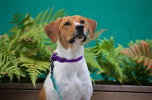 BLISS 2 years old 36 lbs Spayed Female Hound Mix Medium to High Active Pure Bliss is the best w