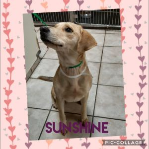 Sunshine is a sweet lab mix looking for her furever home She is leash trained and a really great gi