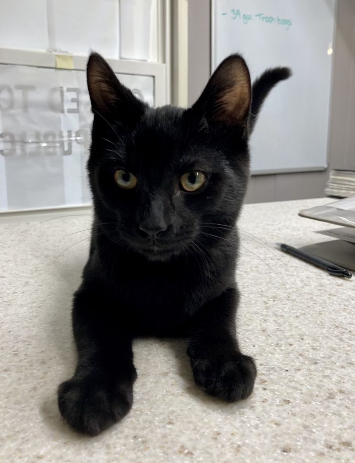 Raven, an adopted Domestic Short Hair in Spencer, IN