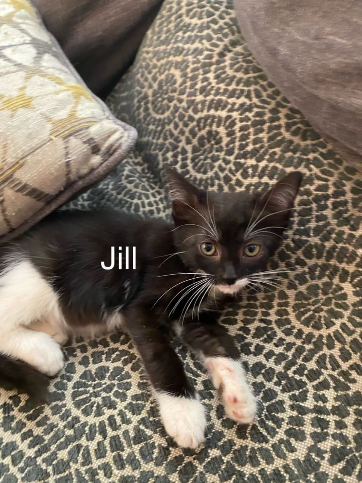 Jill, an adoptable Tuxedo & Domestic Short Hair Mix in Miami, FL