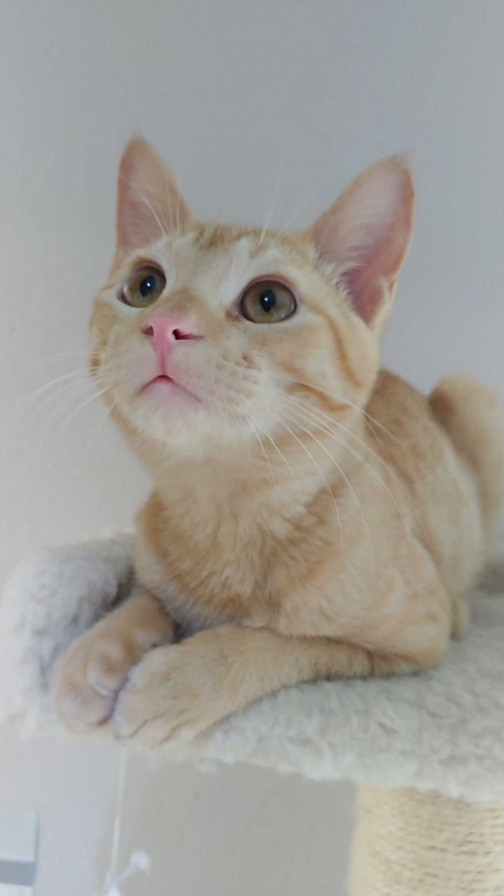 Bennington, an adopted Domestic Short Hair in Ottawa, KS