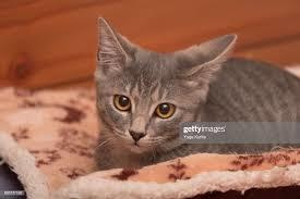 My name is Gracie a 3 month old female grey kitten I was rescued while outside alone but I make