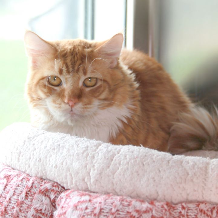 Cardiff, an adopted Domestic Long Hair Mix in Clovis, CA