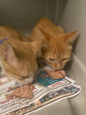 Orange girls We thought all oj cats were boy and as it turns out they are Arrived 912 product