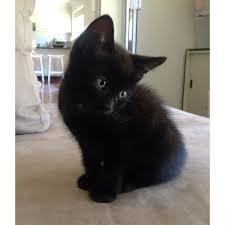 My name is Smokey and I am a 4 month old kitten I enjoy being with my sister Cali who