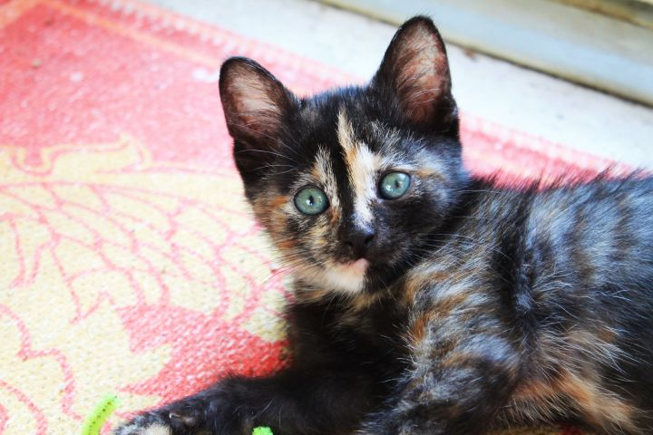 Alta Vista, an adoptable Tortoiseshell & Domestic Short Hair Mix in Manhattan, KS