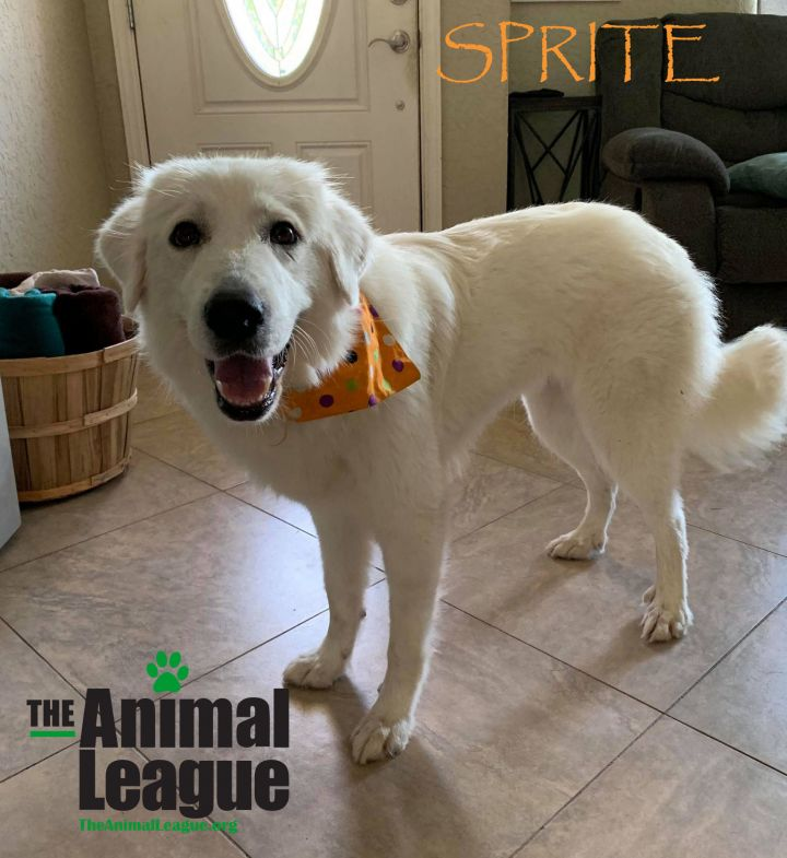Sprite, an adoptable Great Pyrenees Mix in Clermont, FL