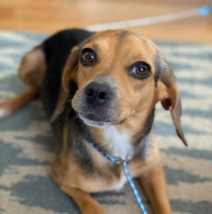 Meet Blossom a pretty petite 2-year-old beagle mix She weighs just 16 lbs She is sweet and calm