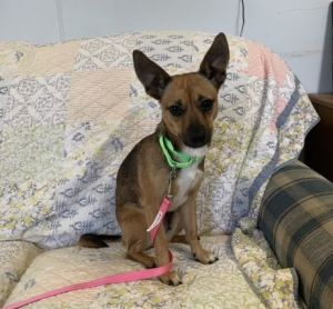 Meet Little Bit a happy friendly 3-year-old chihuahua mix She only weighs 14 lbs She likes to be