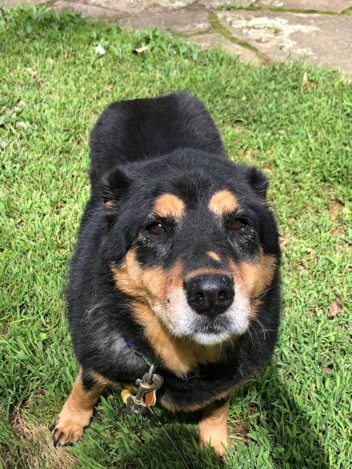 Misty, an adoptable Rottweiler & Husky Mix in New Britain, CT