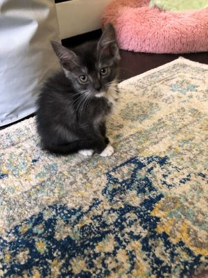 This is Violet a very pretty little grey and white 7 week old looking for her furrever home She is