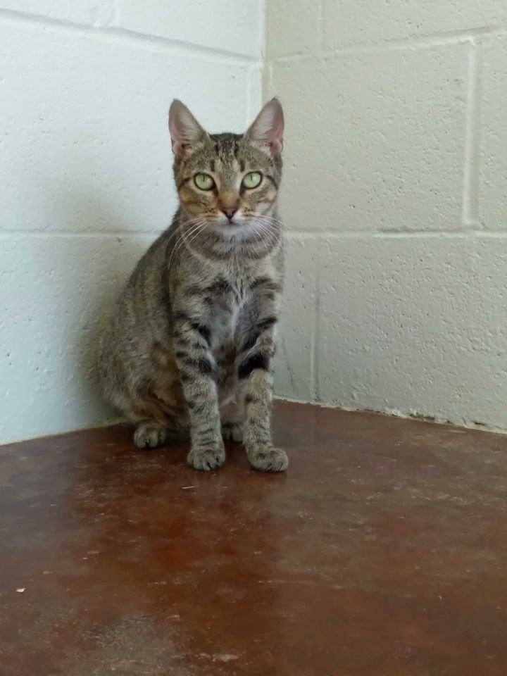Aphrodite, an adoptable Domestic Short Hair Mix in Carencro, LA