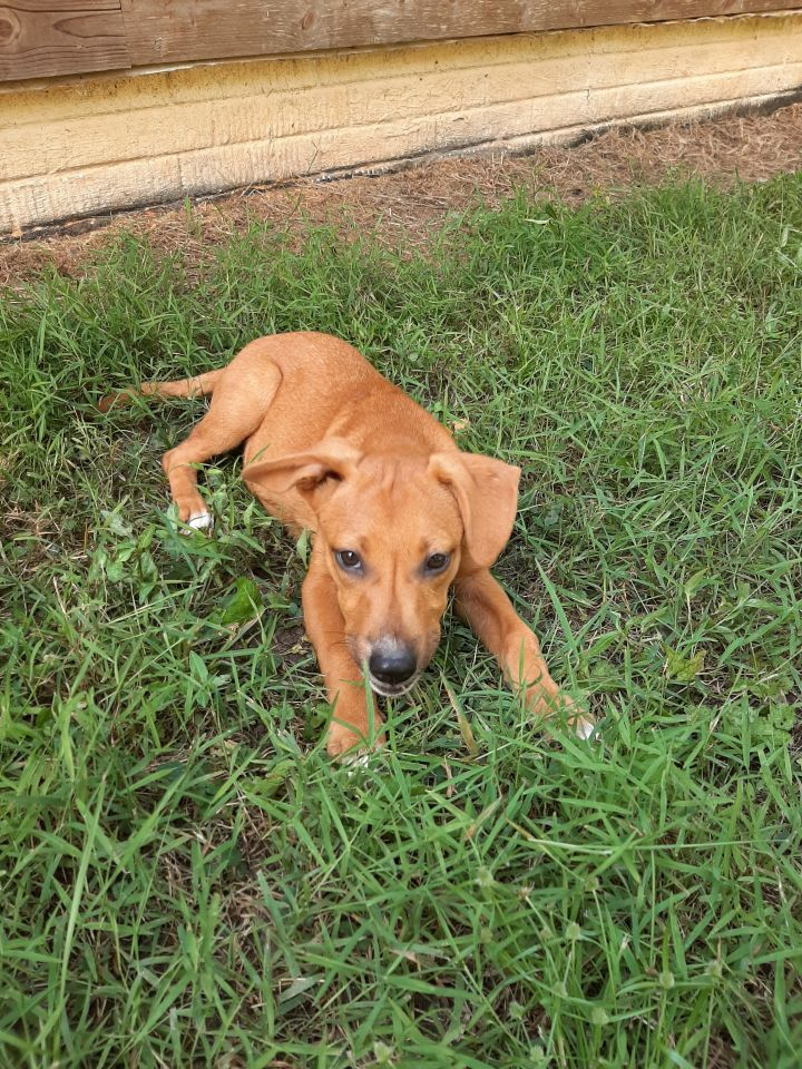 Lena, an adopted Labrador Retriever Mix in Franklin, GA