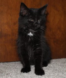 Mia, an adopted Domestic Medium Hair in Kentwood, MI_image-2