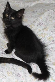 Mia, an adopted Domestic Medium Hair in Kentwood, MI_image-3