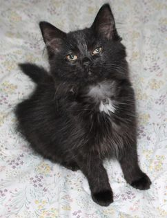 Mia, an adopted Domestic Medium Hair in Kentwood, MI_image-4