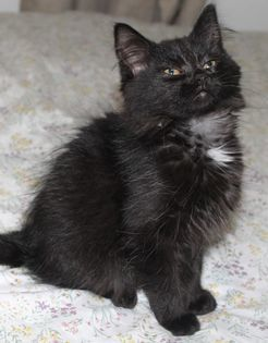 Mia, an adopted Domestic Medium Hair in Kentwood, MI_image-5