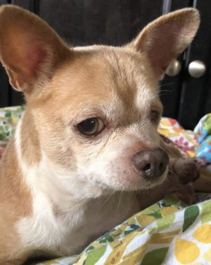 This is Archie He is a 9-10 year old Chihuahua He is blind in one eye and has