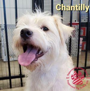 Chantilly ADOPTION PENDING