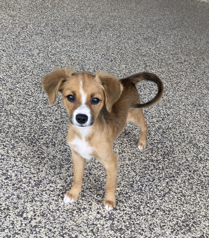 Lollipop, an adopted Chihuahua & Terrier Mix in Spring, TX