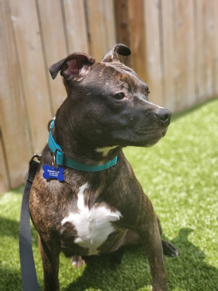 Effie, an adoptable Pit Bull Terrier Mix in Springfield, MO