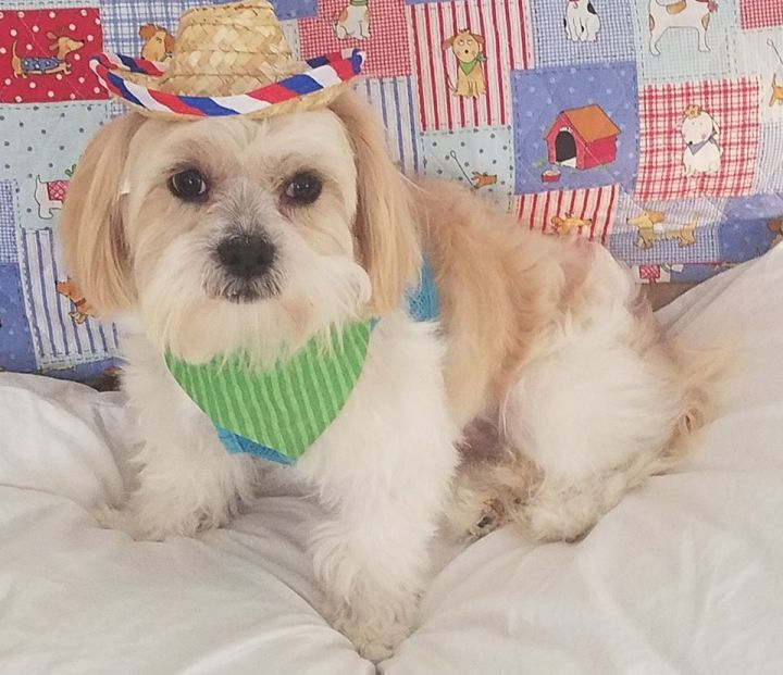 Brody Turner, an adoptable Lhasa Apso in Canton, MI