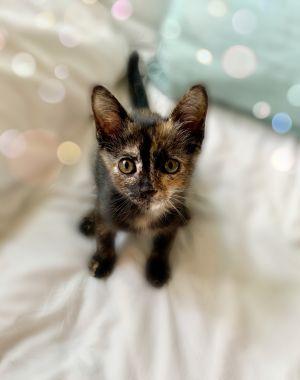 Ingrid Tortoiseshell Cat