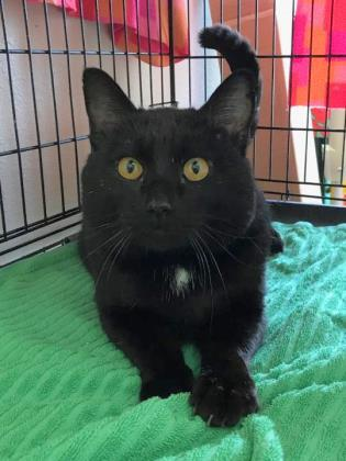 Soloman, an adoptable Domestic Short Hair Mix in Monticello, IA