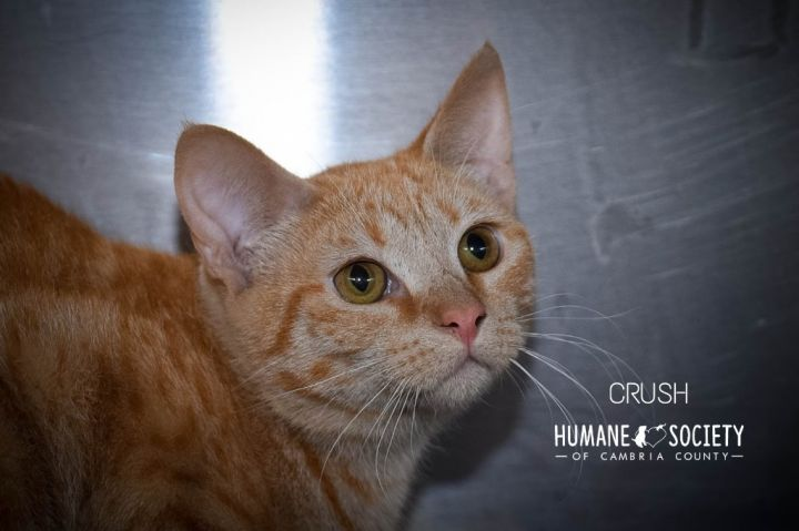Crush, an adoptable Domestic Short Hair in Johnstown, PA