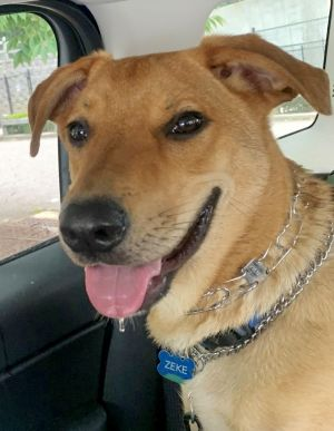 Meet Zeke This 1 year old German ShepherdRetriever Mix is sweet happy social and full of energy