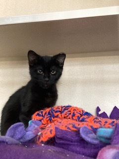Cosmo, Ripley, Delta, an adoptable Domestic Short Hair in Ridgway, CO