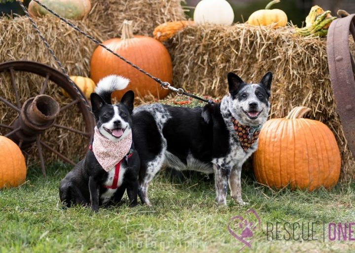 Pandi and Kloee, an adoptable Corgi Mix in Springfield, MO