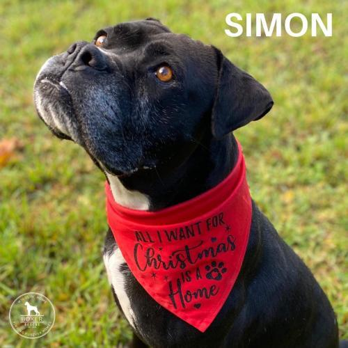 Simon, an adoptable Boxer in Battle Ground, WA